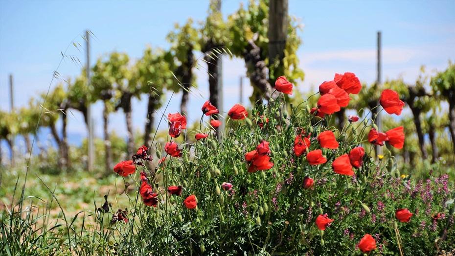 Barbacoa a peu de vinyes i visita a Bodegues Sumarroca